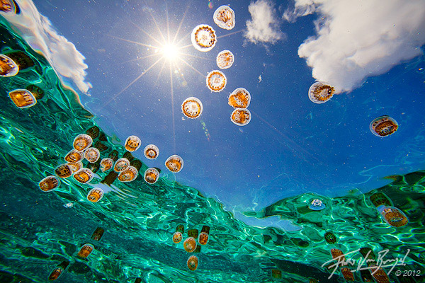 Floris Van Breugel - jellyfish