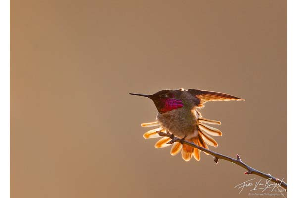 Anna hummingbird image by Floris Van Breugel