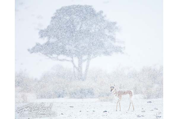 Pronghorn antelope image by Floris Van Breugel