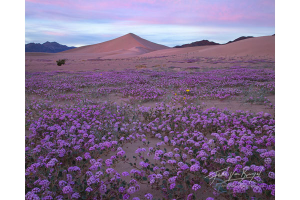 Death Valley flowers image by Floris Van Breugel