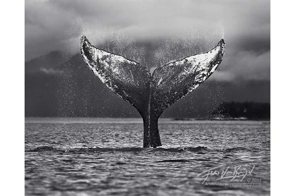 Glacier Bay humpback whale image by Floris Van Breugel
