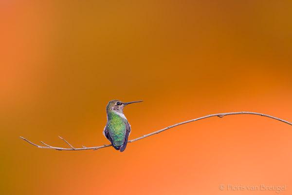 Hummingbird image by Floris Van Breugel