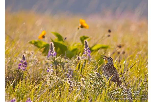 Meadowlark image by Floris Van Breugel