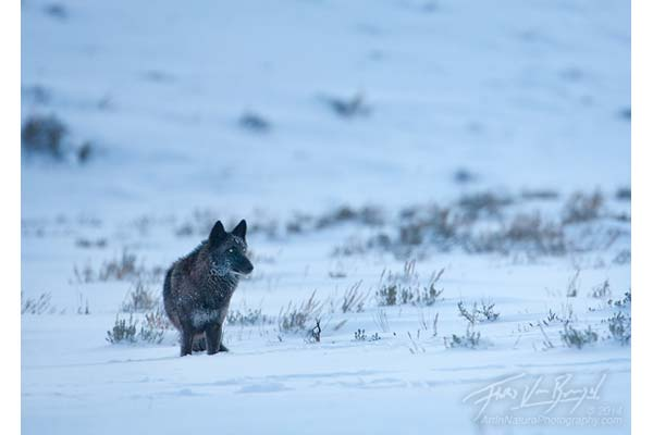 Wolf in Lamar Valley image by Floris Van Breugel